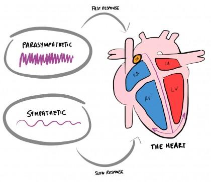 parasympathetic-sympathetic-heart