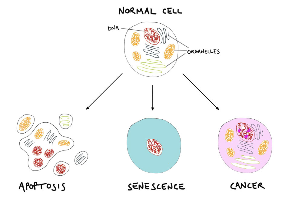 What happens to the cells with ageing